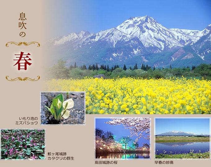 息吹の春、早春の妙高、髙田城跡の桜、いもり池のミズバショウ、鮫ヶ尾城跡、カタクリの群生
